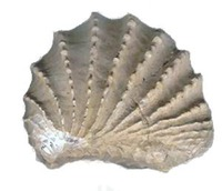 Tennessee - Fossil - pterotrigonia thoracica